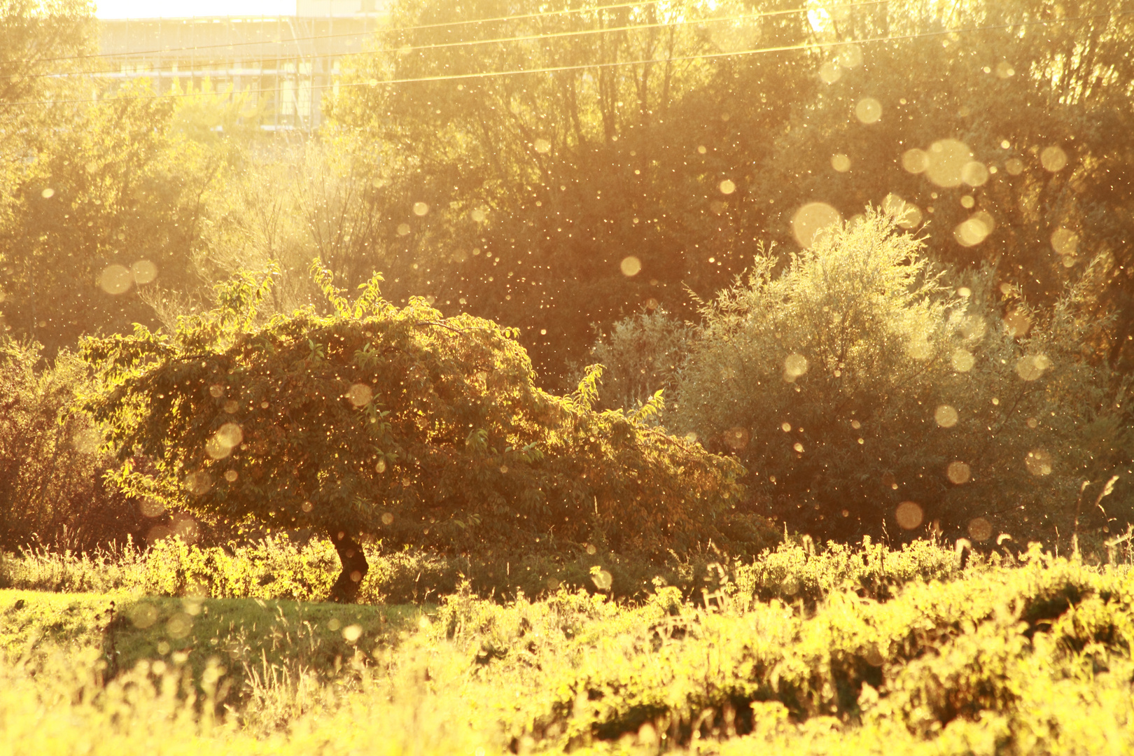 tanzende Mücken im Herbst