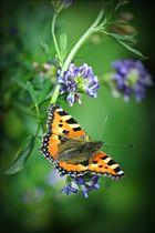 tanzender Schmetterling