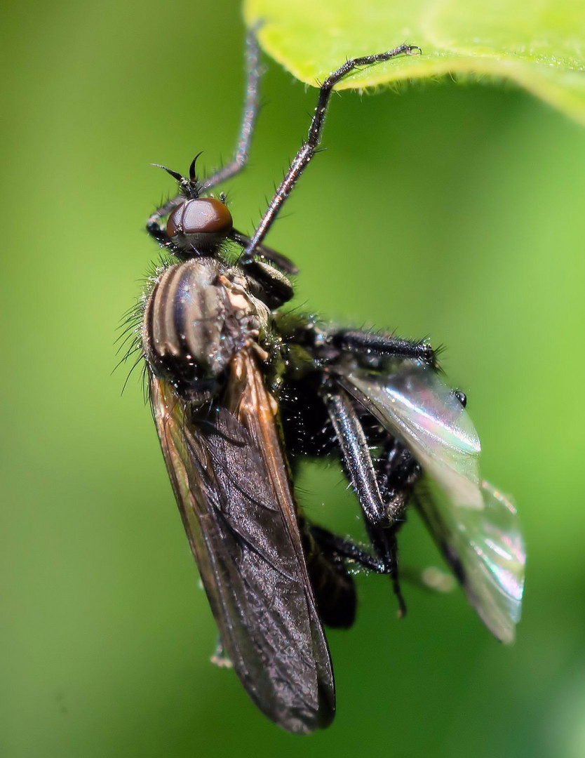 Tanzfliege (Empididae)
