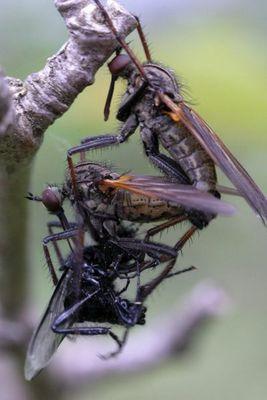 Tanzfliegen, Sex und Futter