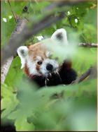 Tao Tao oder kleiner Pandabär