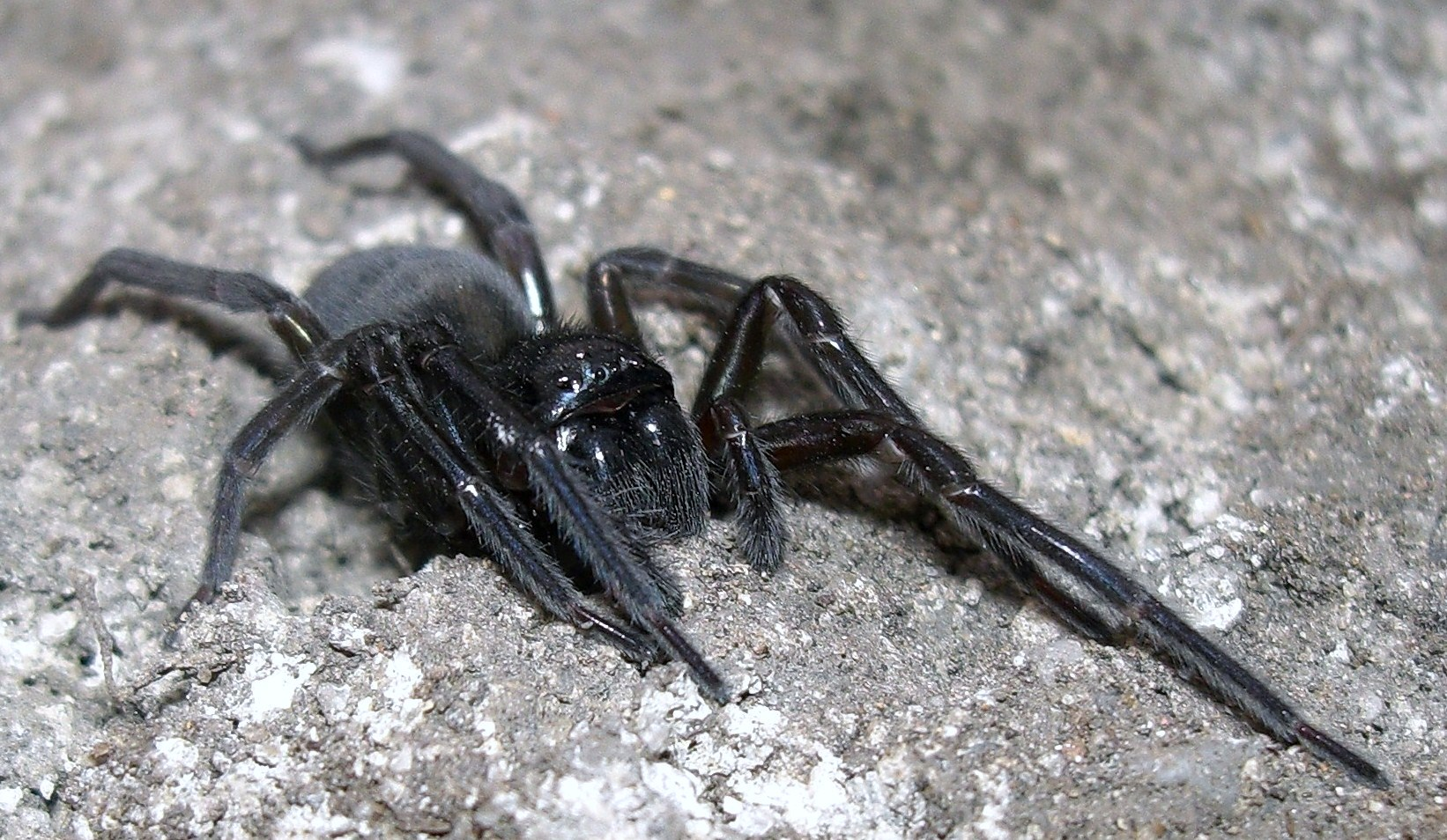 Tapezierspinne