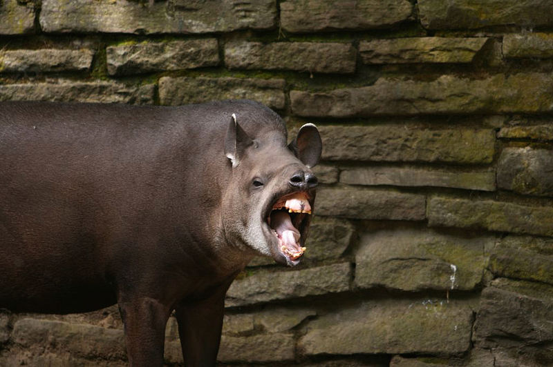 Tapir aus Duisburg