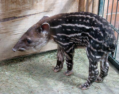Tapir-Baby Luara
