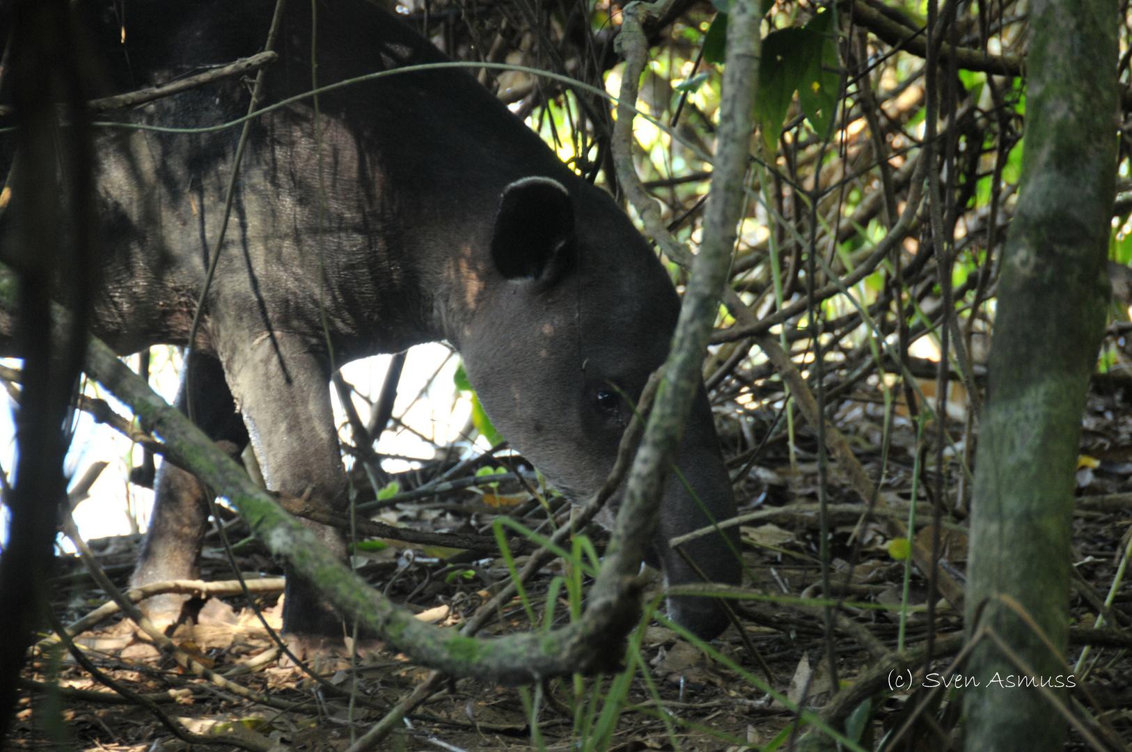 Tapir en el Parque Nacional Corcovado