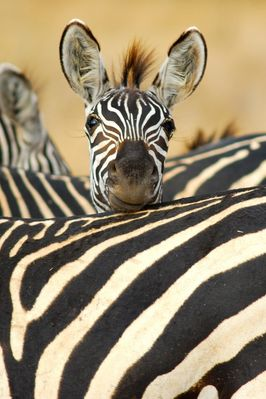 Tarangire NP Tanzania, Zebra