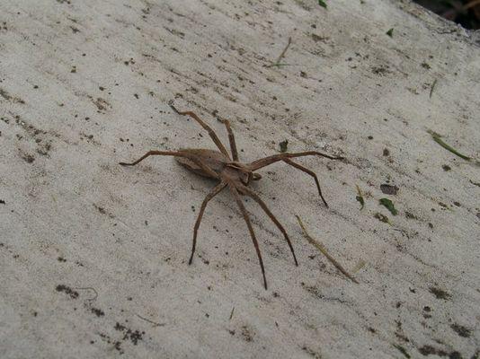 Tarantula :-)