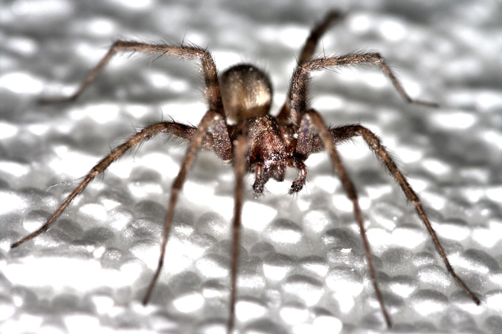 Tarantula(chen)