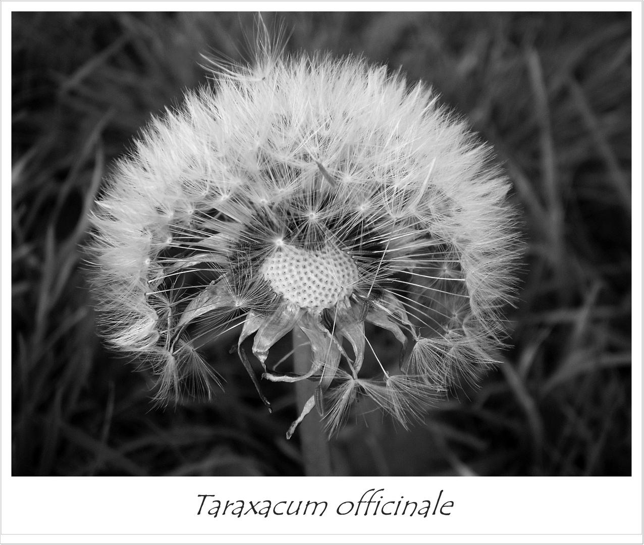 Taraxacum officinale (in schwarz / weiß)