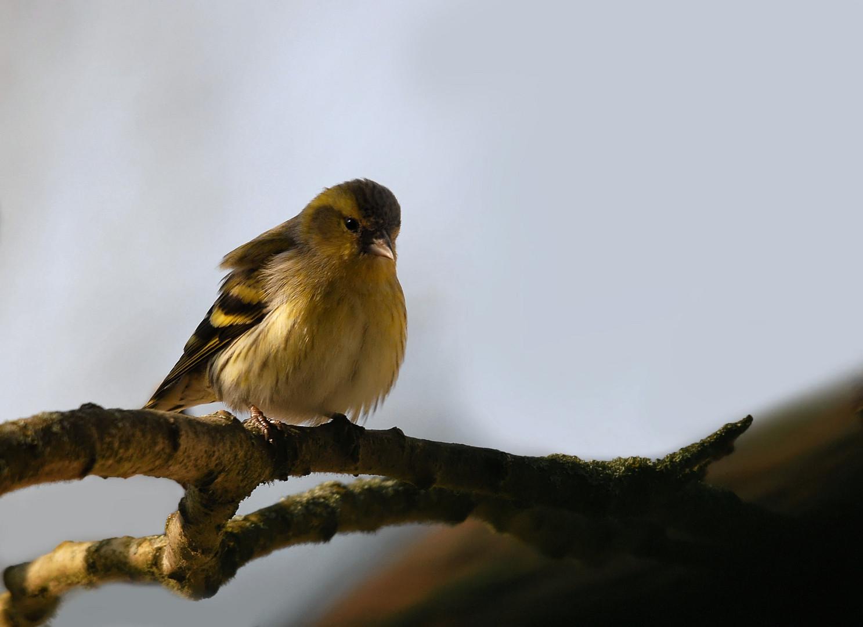 Tarin des aulnes mâle (1)