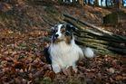 Tarnfarbenhund ...