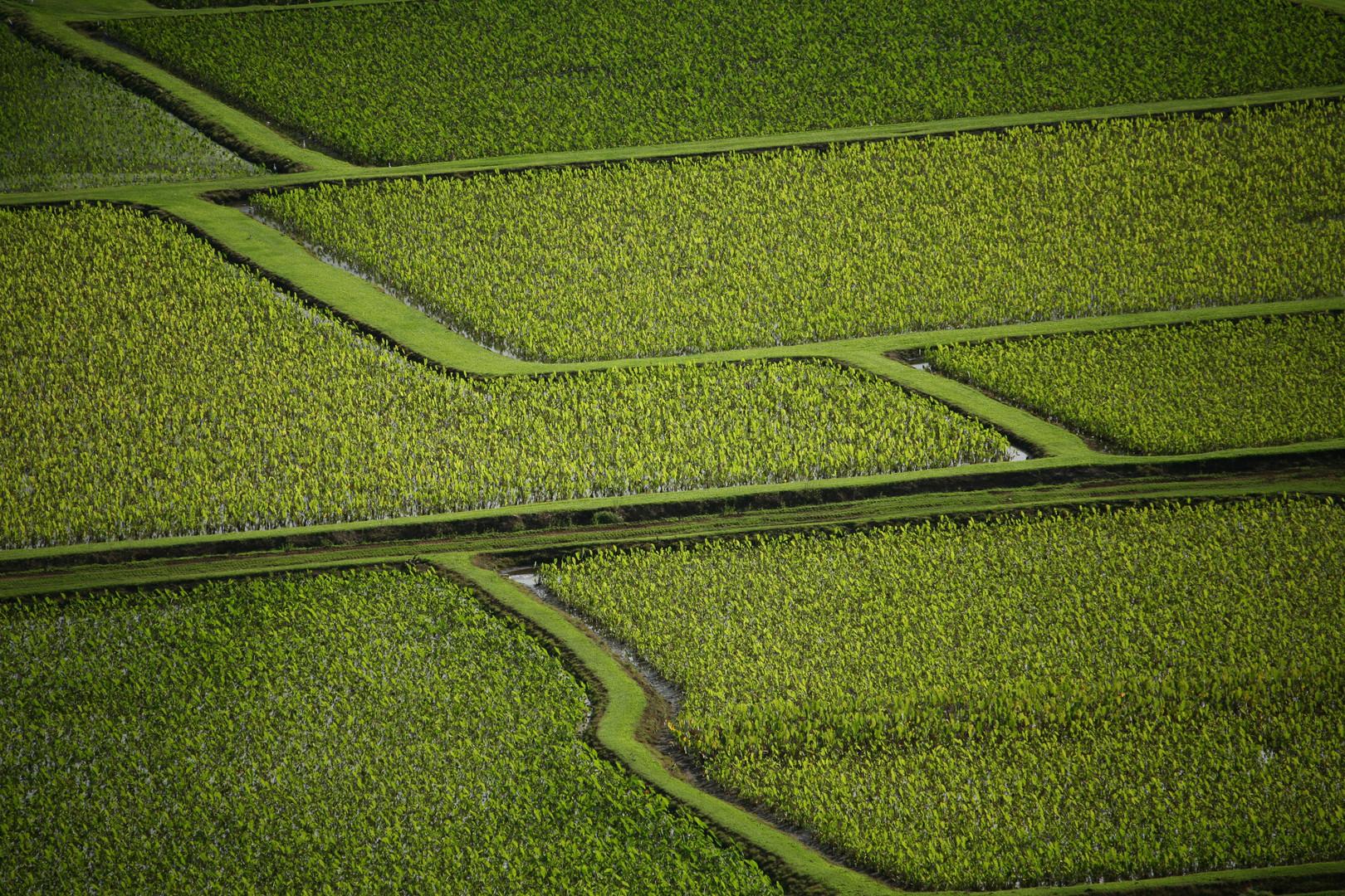 Tarofelder auf Kauai