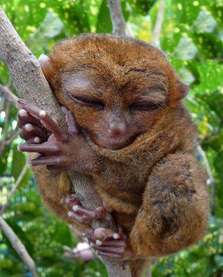 TARSIER - Der kleinste Affe der Welt lebt auf den Philippinen