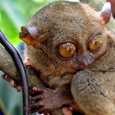 «TARSIER», einer der kleinsten unter uns Affen