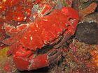 Taschenkrebs oder Krabbe?