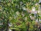 Taschentuchbaum