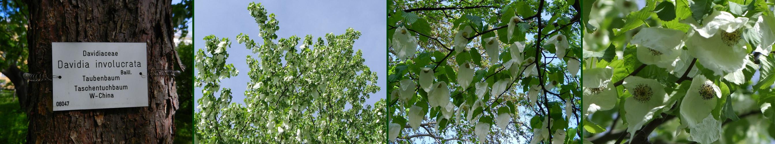 Taschentuchbaum Botanische Garten Wien