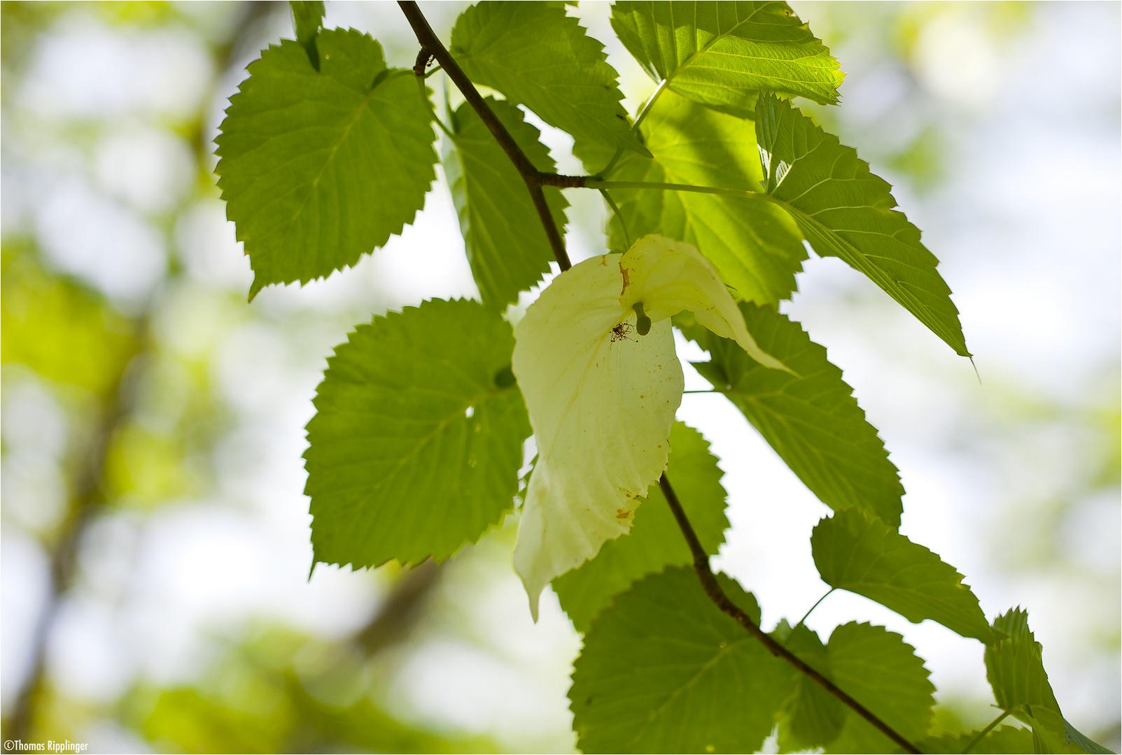 Taschentuchbaum (Davidia involucrata).
