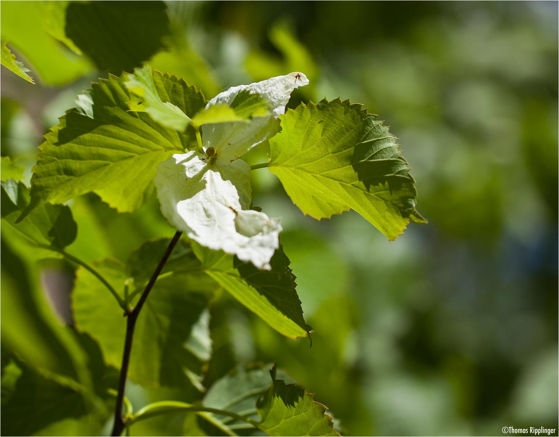 Taschentuchbaum (Davidia involucrata)...