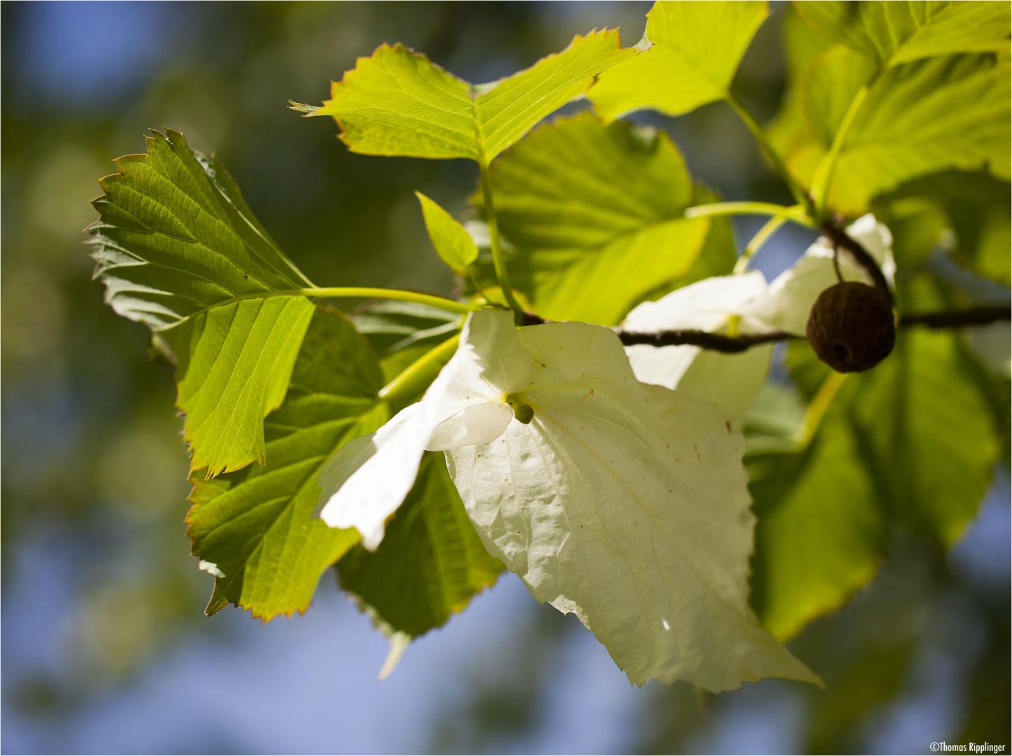 Taschentuchbaum (Davidia involucrata)..