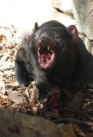 Tasmanischer Teufel, Tasmania, Australia