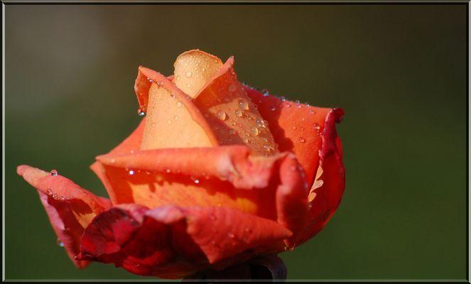 Tau auf der Blüte