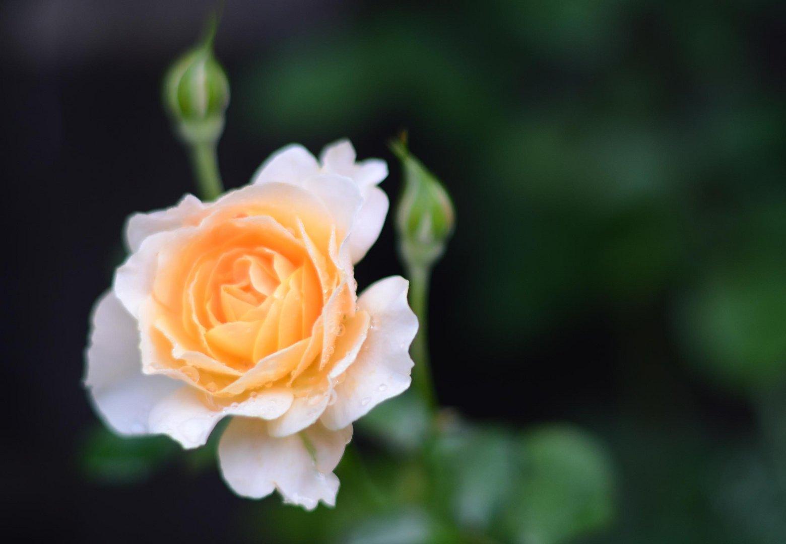 Tau auf einer Rose...