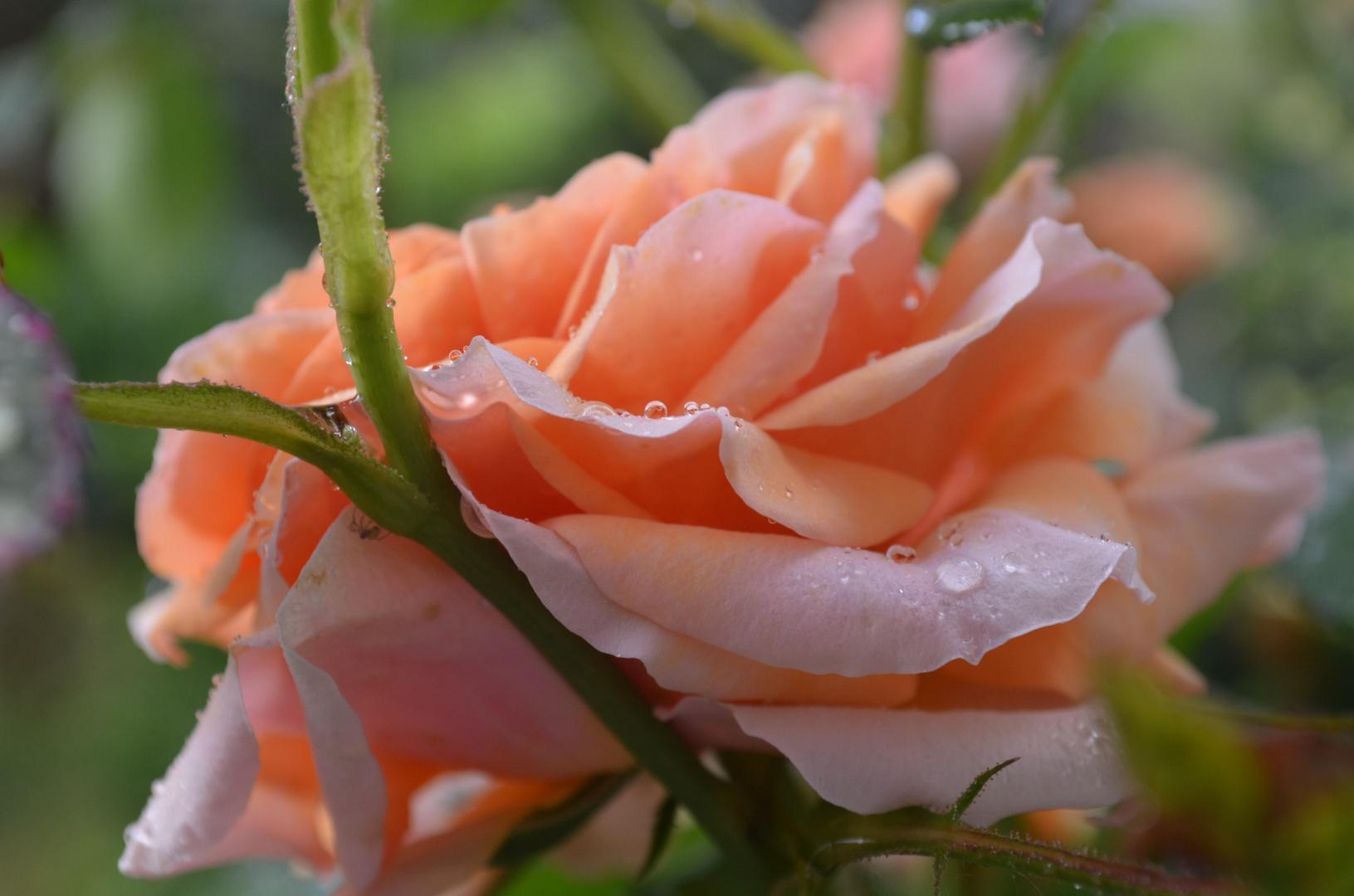 Tau auf Rose