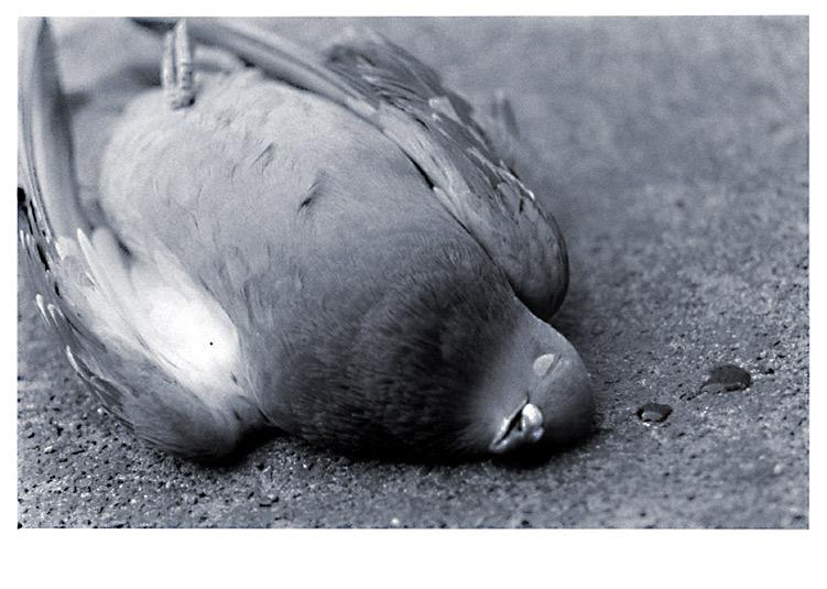 taube, abgestürzt