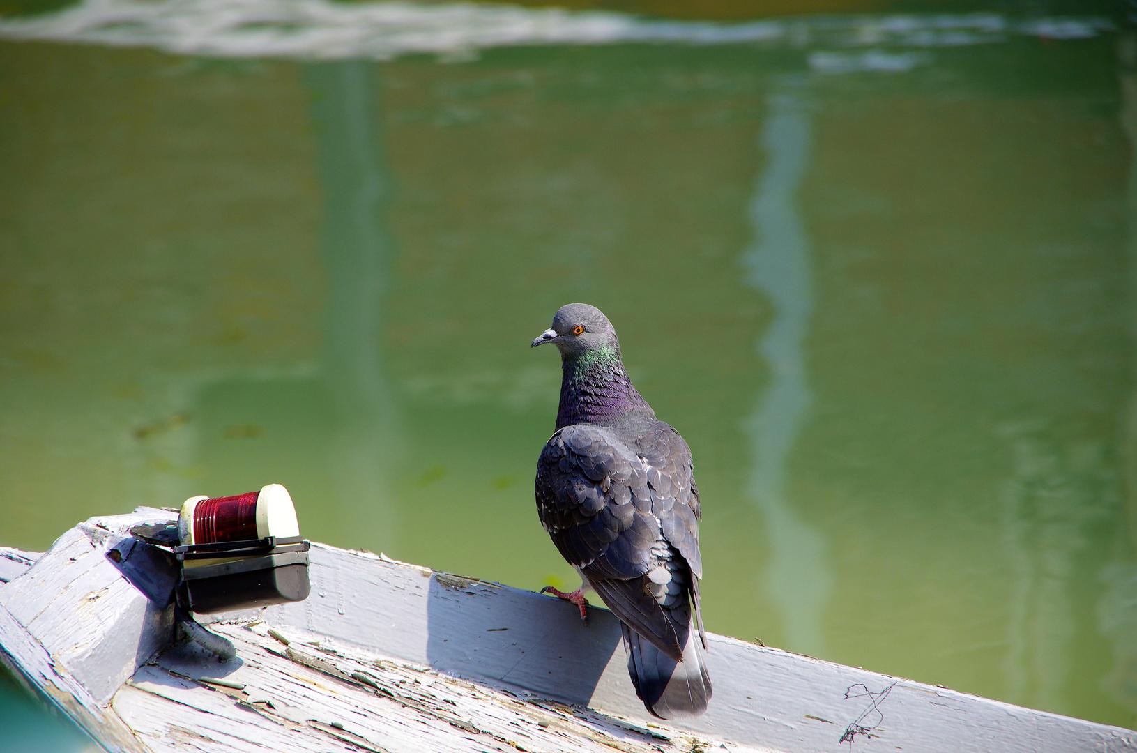 Taube auf Boot