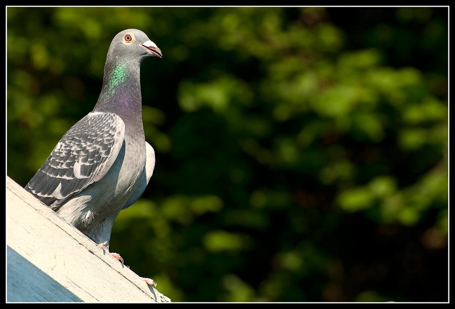 Taube auf dem Dach