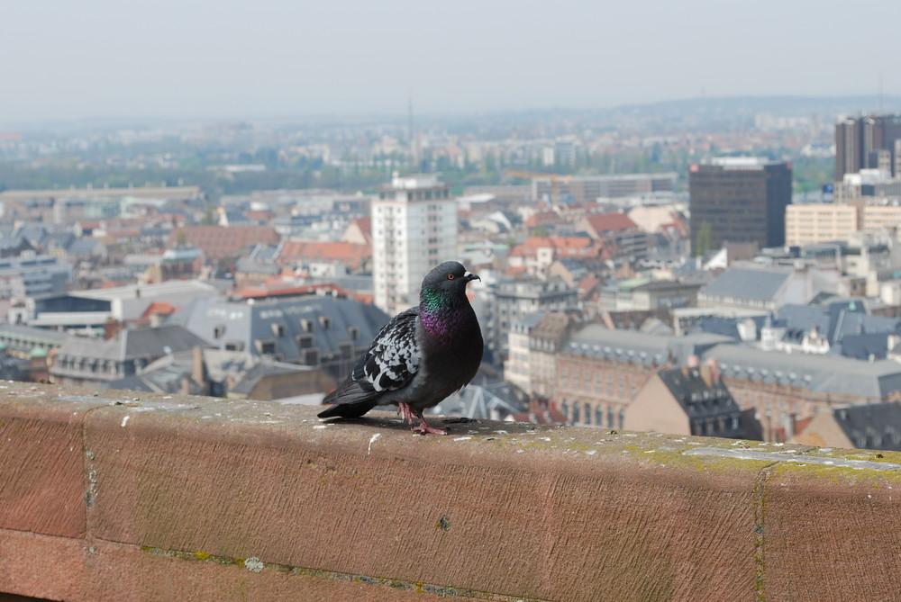 Taube auf dem Dom