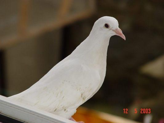 Taube auf dem Fensterbrett