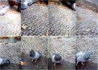 Taube auf der Flucht (mal acht)