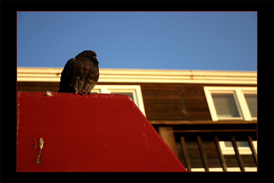 Taube auf rotem Dach