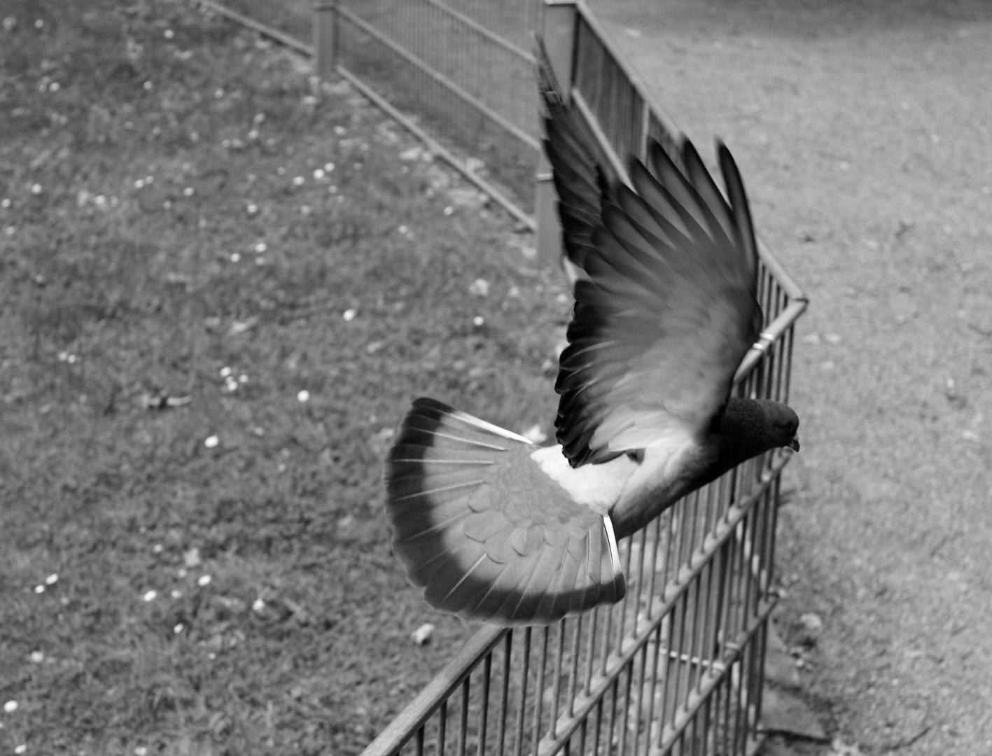 Taube beim Flug