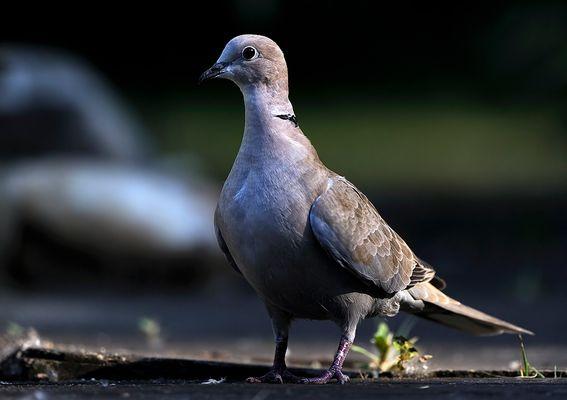 Taube - ganz gross