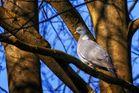 Taube genießt Sonnenstrahlen
