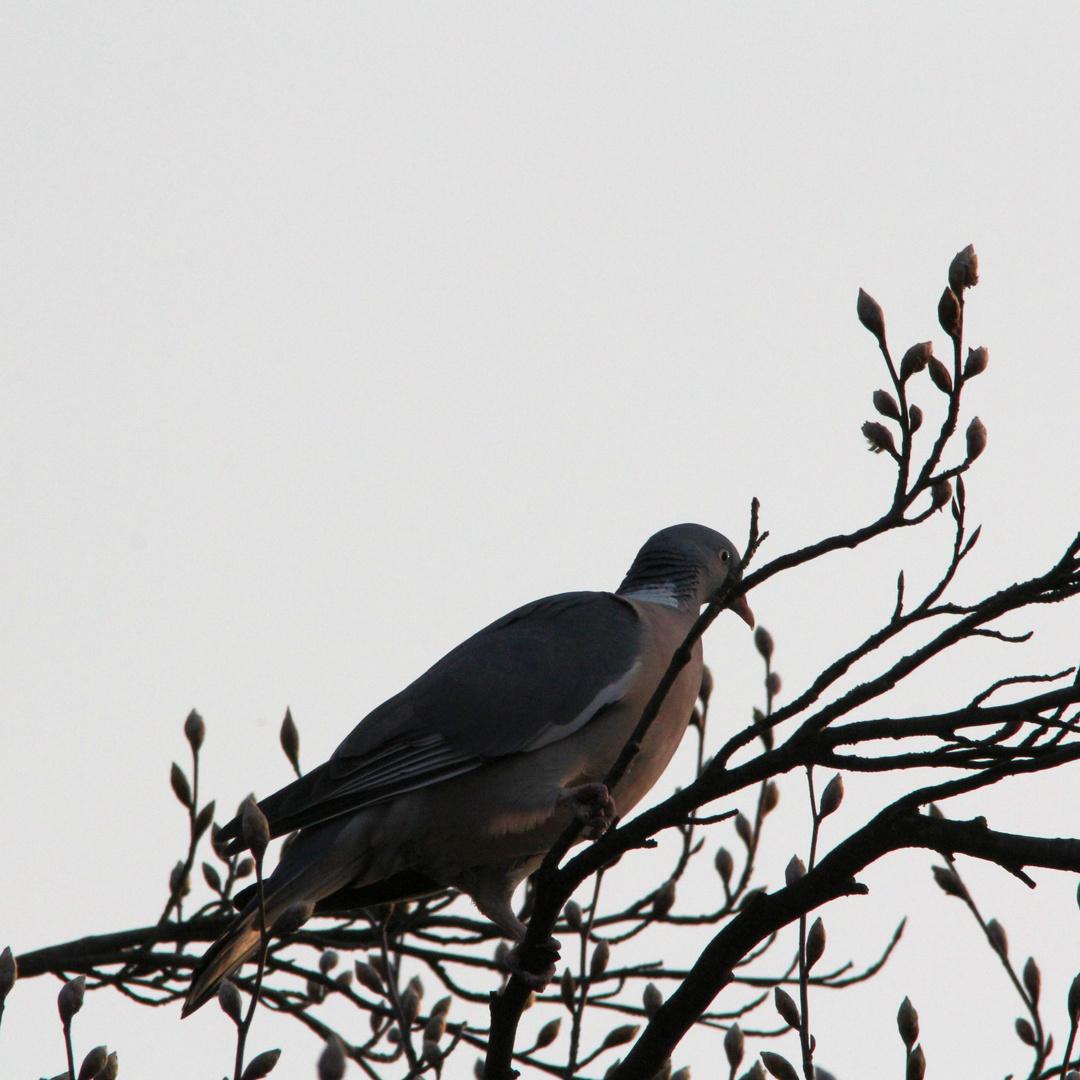 Taube im Abendlicht