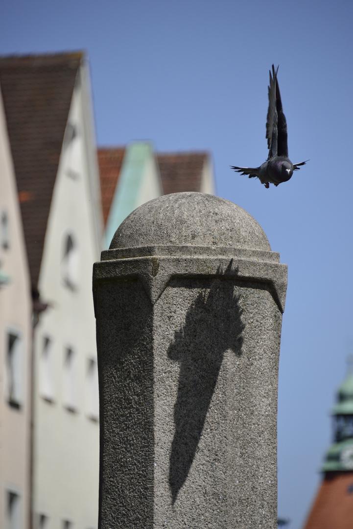 Taube im Anflug