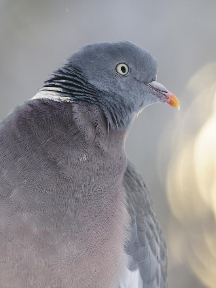 Taube im Gegenlicht