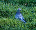 Taube im Gras