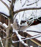 Taube im Schnee