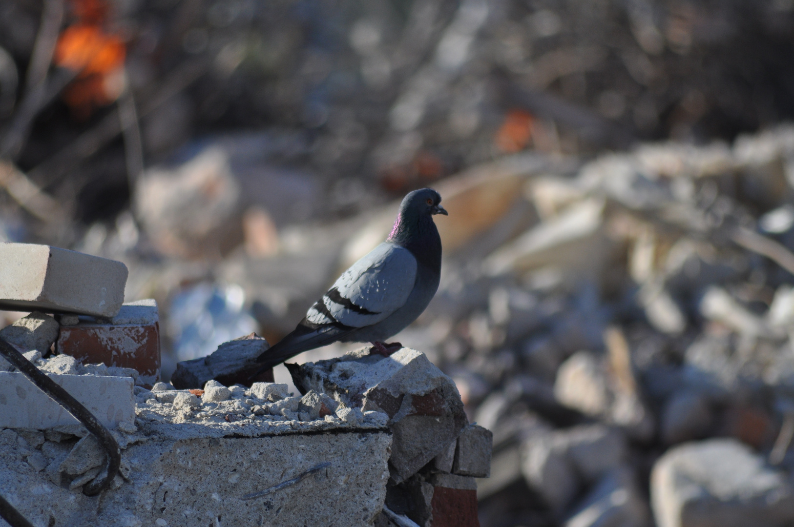 Taube im Schutt