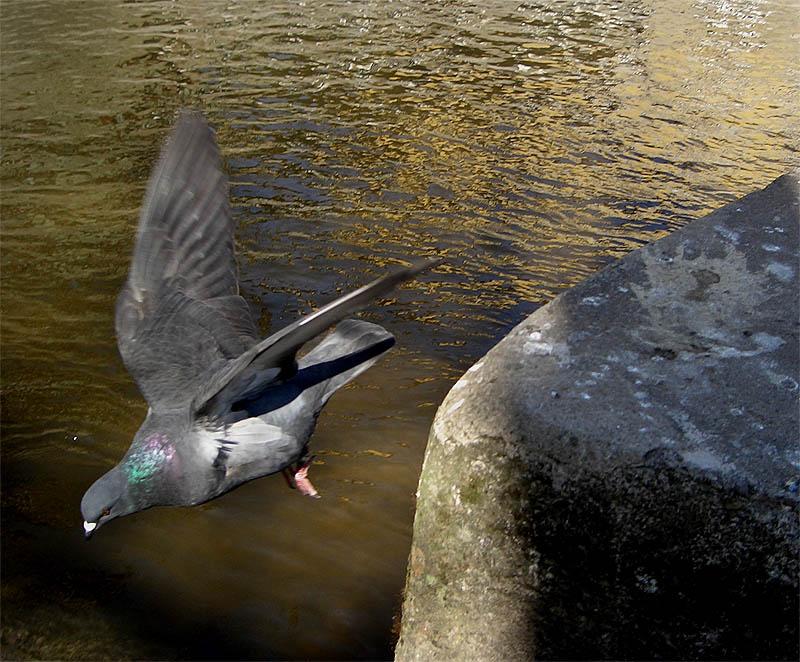 Taube im Sturzflug