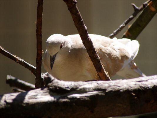 Taube im Zoo