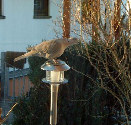 Taube in Wartestellung vor dem Vogelhäuschen