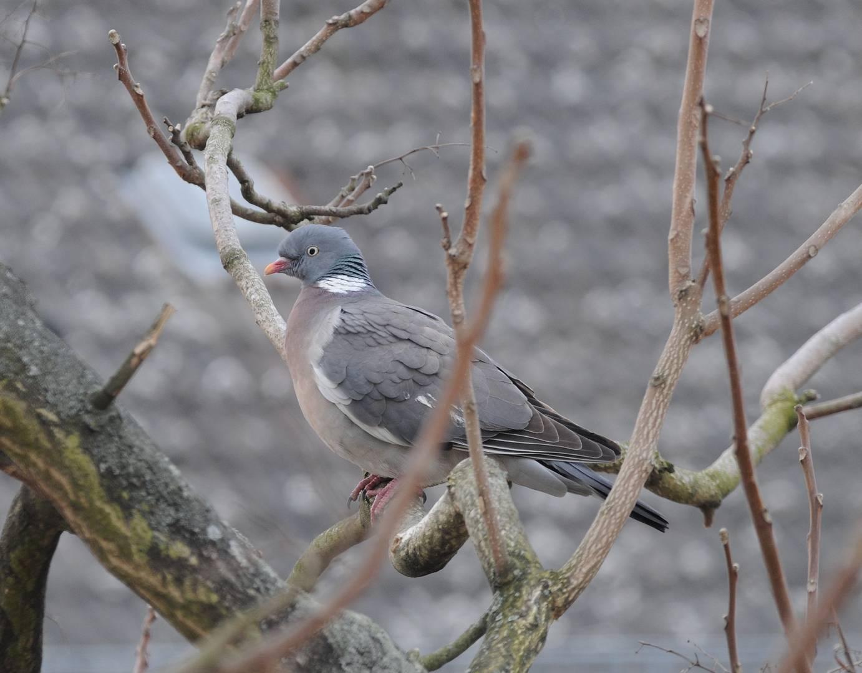 Taube / Pigeon