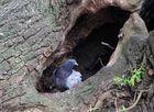 Taube schaut aus dem Baumnest