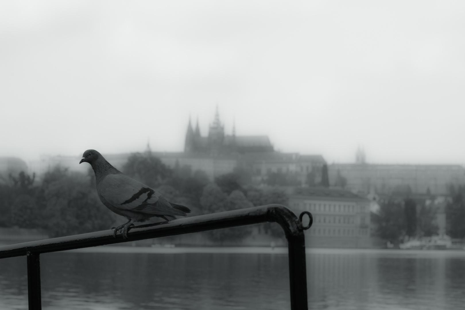 Taube vor der Moldau